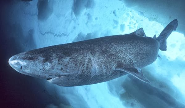 Longevity record- Greenland shark may live 400 years