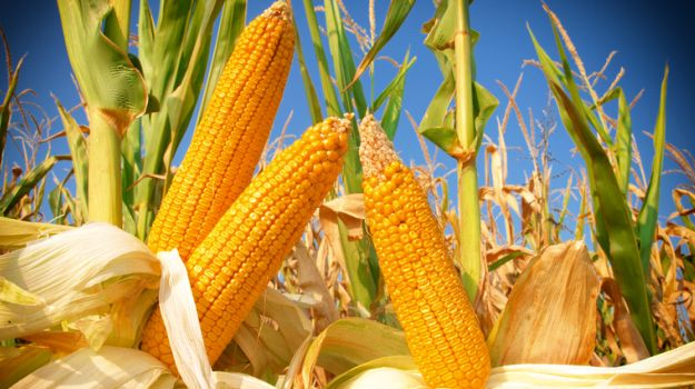 Latest update Health news:  Corn soluble fiber may improve women's bone health