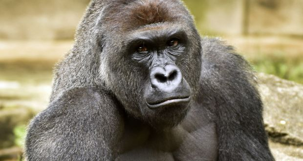 London Zoo gorilla helped himself to blackcurrant squash